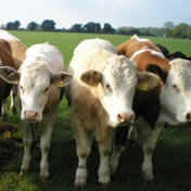 Beechcroft cows